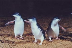 Phillip Island / Kuva lainattu